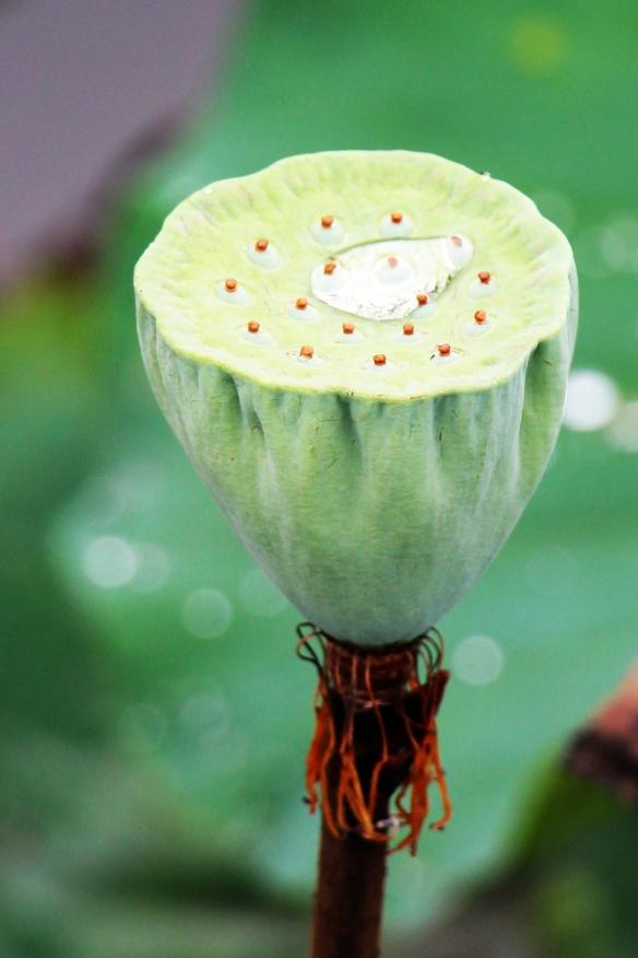 East indian lotus